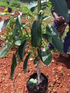 Healthy avocado nursery tree Elsje Joubert